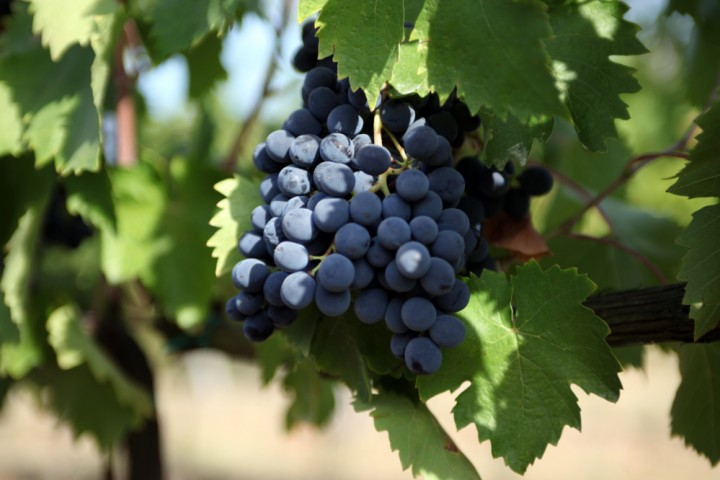 """Grapes, Coriano<br /><a href=""""https://static.riviera.rimini.it/tl_files/gallerie/orig/img_6038acoriano.jpg.zip"""" target=""""_blank"""" class=""""photo-download"""">Download high resolution image</a>"""